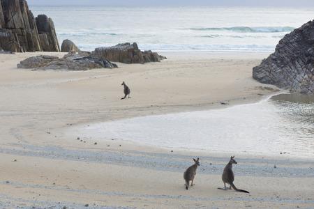 Australian Landscape- Kangaroos on A Beach