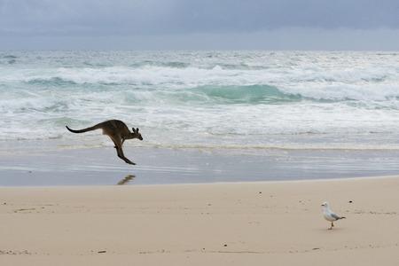 Australia- Kangaroo Jumping On A Beach Stock Photo