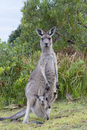 kangaroo mother: Kangaroo Female With a Baby Joey in Pouch