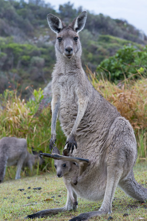 Kangaroo Female With a Baby Joey in Pouch- Closeup Stock Photo
