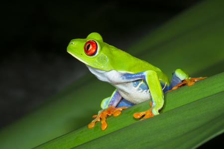 A red eyed treefrog (Agalychnis callidryas) on a leaf at night in Tortuguero National Park, Costa Rica. Archivio Fotografico
