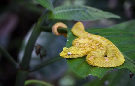 An eyelash viper (Bothriechis schlegelii) rests on a leaf in Tortuguero National Park, Costa Rica.
