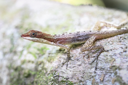 A slender anole (Anolis fuscoauratus, aka Norops limifrons) on a rock in Tortuguero National Park, Costa Rica.