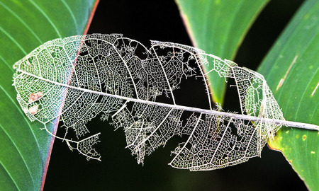 A dead leaf rests in a gap between two living leaves, with the vein structure easily visible. Tortuguero National Park, Costa Rica.