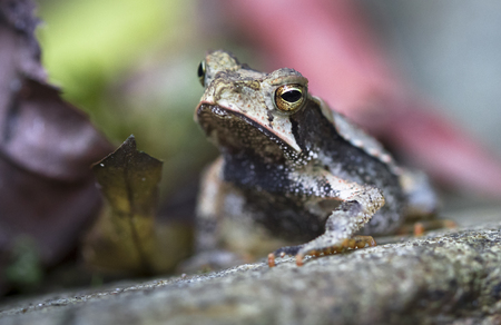 A Campbells rainforest toad (Bufo campbelli or Incilius campbelli) resting on a rock in Belize.