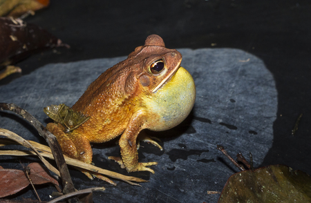 A gulf coast toad (Bufo valliceps) photographed at night in Belize. Stock Photo