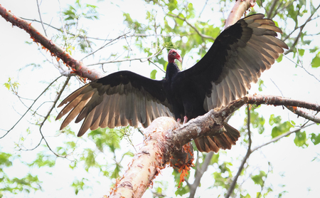 A turkey vulture (Cathartes aura) spreads its wings in Belize. Stock Photo