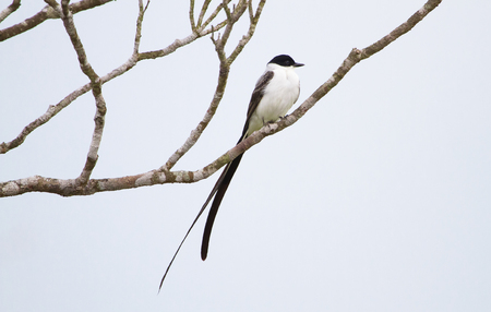 A fork-tailed flycatcher  (Tyrannus savana) perched in Toledo, Belize.