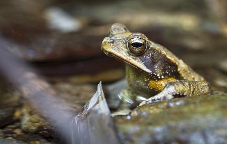 A Campbells rainforest toad (Bufo campbelli or Incilius campbelli) on a rock in Belize.