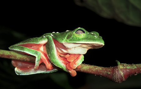 A Morelets treefrog (Agalychnis moreletii) sleeps on a branch at night in the Columbia River Forest Basin, Belize. The web-like eyelid (reticulated palpebral membrane) is easily visible. Stock Photo