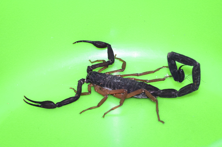 A scorpion (Diplocentrus sp.) photographed against a green background in Belize.