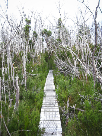 A wooden boardwalk travels through a boggy patch with dead trees in the Western Arthurs, Tasmania. Stock Photo