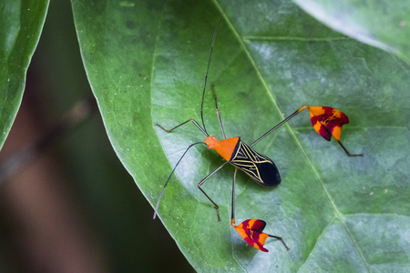 A leaf-footed bug (Diactor flavolineata) on vegetation in Tortuguero National Park, Costa Rica. Stock Photo
