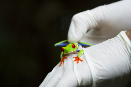 A scientist handles a red-eyed treefrog (Agalychnis callidryas) as part of an inventory study in Tortuguero National Park, Costa Rica.