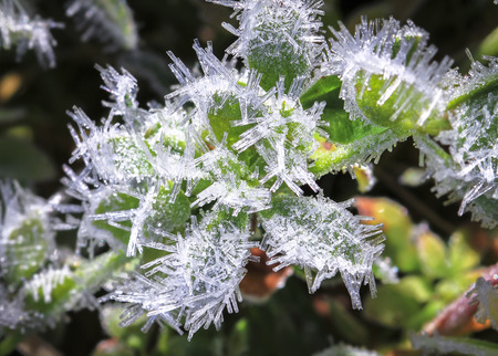 Ice crystals on a leaf in New Zealand. Stock Photo