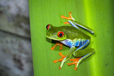 Red-eyed treefrog (Agalychnis callidryas) on a leaf at night in Tortuguero National Park, Costa Rica. 写真素材