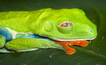 Red-eyed treefrog (Agalychnis callidryas) sleeps on a leaf at night in Tortuguero National Park, Costa Rica.