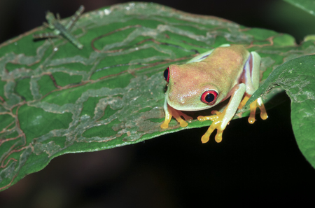 A parachuting red-eyed leaf frog (Agalychnis saltator) sits on a leaf at night in Tortuguero National Park, Costa Rica. Stock Photo