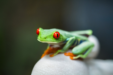 A red eyed treefrog (Agalychnis callidryas) sits on the gloved hand of a scientist during a wildlife survey in Tortuguero National Park, Costa Rica.