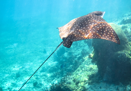A spotted eagle ray (Aetobatus narinari) swims along the coral reef in the Carribean Sea. Corn Islands, Nicaragua. 스톡 콘텐츠