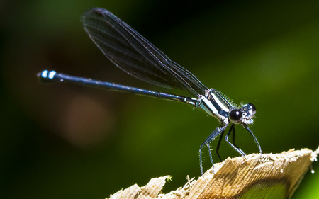 A damselfly sits in the sunlight in the Costa Rican jungle.