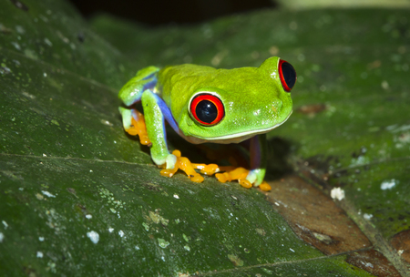A red eyed treefrog (Agalychnis callidryas) on a leaf at night in Tortuguero National Park, Costa Rica. Stock Photo