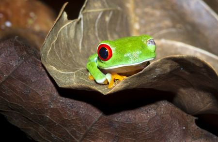 A red eyed treefrog (Agalychnis callidryas) on a leaf at night with one eye open. Tortuguero National Park, Costa Rica. Stock Photo