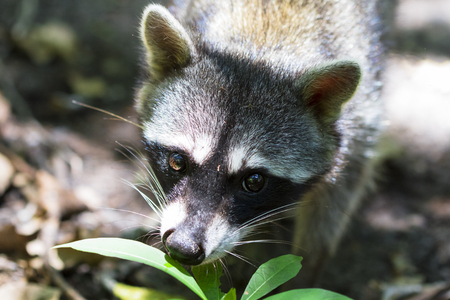 A raccoon (Procyon lotor) on the jungle floor in Cahuita National Park, Costa Rica. Stock Photo