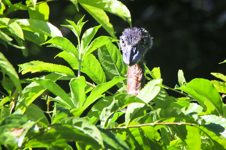 A baby boat-billed heron (Cochlearius cochlearius) peaks over the vegetation on a sunny day in Tortuguero National Park, Costa Rica. Stock Photo