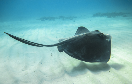 An adult southern stingray (Dasyatis americana) swimming above a sandy ocean floor in the Caribbean Sea, Costa Rica.
