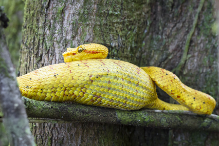 An eyelash viper (Bothriechis schlegelii) rests on a tree branch after eating a very large meal. Cahuita National Park, Costa Rica. Banco de Imagens