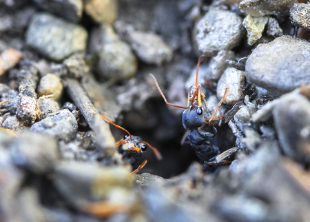 Jack jumper ants (Myrmecia pilosula) crawling out of a hole in Tasmania, Australia. They are one of the worlds most venomous and dangerous ant species, Stock Photo