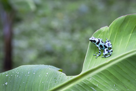 Green and black poison dart frog (Dendrobates auratus) on a banana leaf in Costa Rica.