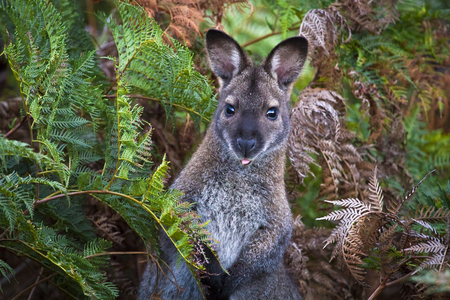 A red-necked wallaby (or Bennetts wallaby, Macropus rufogriseus) among bracken ferns in Narawntapu National Park, Tasmania. Stock Photo