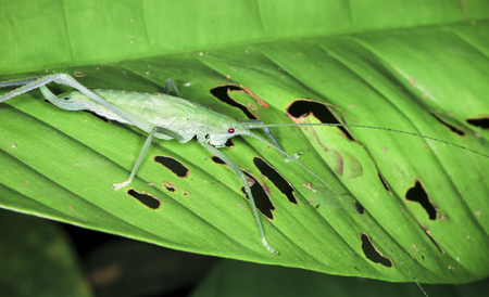 A katydid with long antennae rests on a leaf at night in Costa Rica. Stock Photo