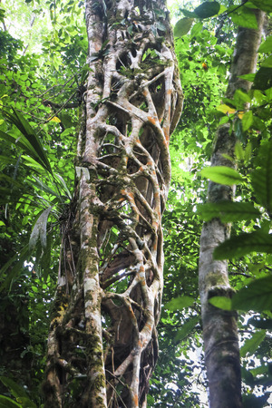 A strangling vine has grown around and killed a large tree which has since decomposed, leaving the cage-like structure of the vine. Costa Rica.