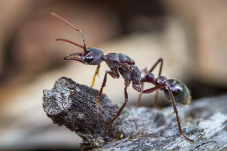 An inchman ant (Myrmecia forficata), a species of bull ant, standing guard near its colony on Bruny Island, Tasmania.