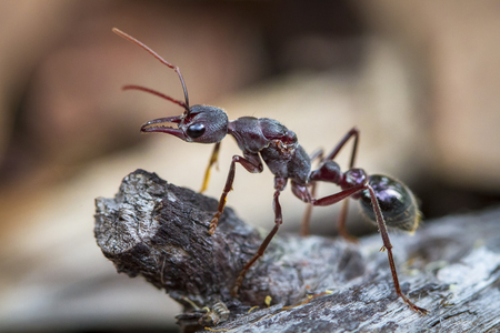 An inchman ant (Myrmecia forficata), a species of bull ant, standing guard near its colony on Bruny Island, Tasmania.