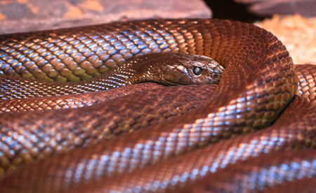An adult inland taipan (Oxyuranus microlepidotus), the most venomous snake in the world, photographed in Victoria, Australia. 版權商用圖片