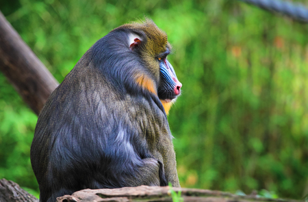 An adult male mandrill (Mandrillus sphinx) sitting on a tree branch.
