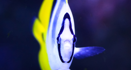 A head-on look at a Pacific double-saddle butterflyfish (Chaetodon ulietensis).