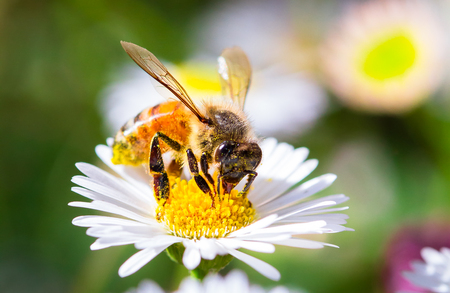 A honeybee drinks nectar and collects pollen from a daisy in Melbourne, Australia. Banco de Imagens