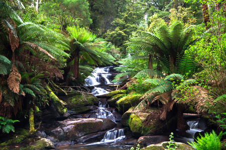 A small creek flows through a lush temperate rainforest lined with tree ferns in the Great Otway National Park, Victoria, Australia.