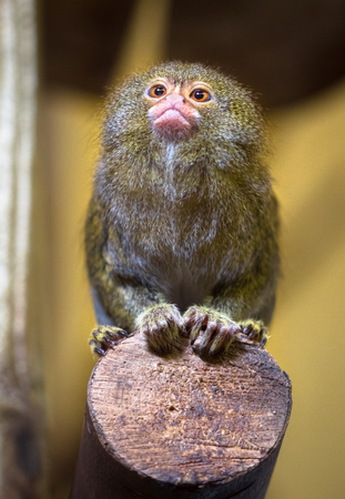 A pygmy marmoset (Cebuella pygmaea) sits on the edge of a wooden pole.
