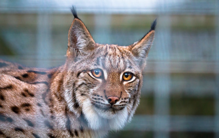 A Carpathian Lynx (Lynx lynx carpathicus) is seen through wire caging. Stock Photo