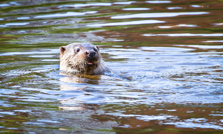 An adult male (dog) Eurasian otter (Lutra lutra) swims in the River Severn in the town of Shrewsbury, Shropshire, England. Reklamní fotografie