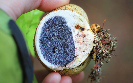 A person displays the inside of a common earthball mushroom (Scleroderma citrinum) in Nesscliffe, Shropshire, England.