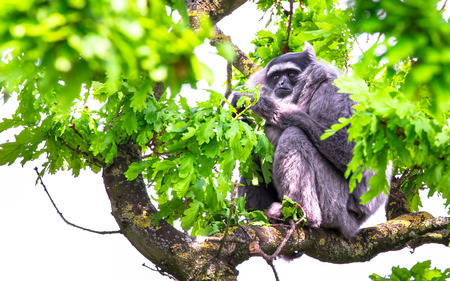 A silvery gibbon (Hylobates moloch) resting in the forest canopy.