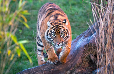 A Sumatran tiger (Panthera tigris sumatrae) walking towards the camera. 版權商用圖片