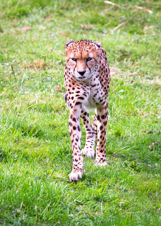 A North African cheetah (also called a northeast African cheetah, Acinonyx jubatus soemmeringii) walking in a grassy field.